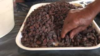 Separating the good cocoa beans from the poor quality cacao beans at the Woman's Chocolate coope
