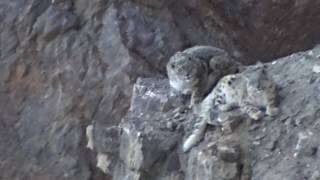 Video footage of a duo of wild snow leopards, taken in Spiti Valley, Himachal Pradesh, India. Filmed by Tanzin Thinley. Courtesy of NCF India, Snow Leopard Trust, Himachal Pradesh Wildlife Department.