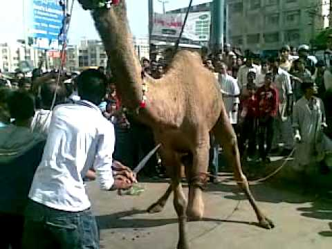 Camel qurbani part two.mp4