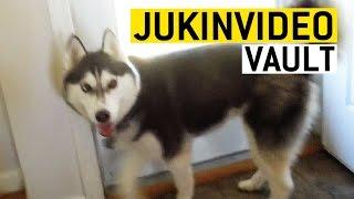 animale faze cu Husky