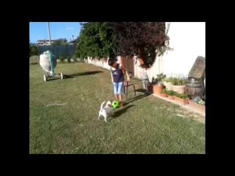 Accoppiamento jack russel
