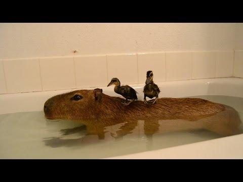 Сделайте паузу для срочного включения из ванны: два утёнка забрались на мохнатый остров из капибары