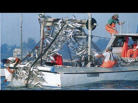 The Best Net Fishing - Fishermen Catch A Lot Of Fish With Net Fishing - Thời lượng: 13 phút.