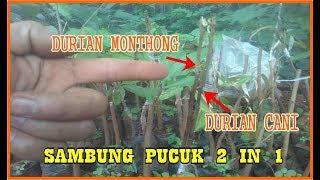 Video Terbaru Cara Sambung Pucuk Durian  2 Varietas 1 pohon (CANI & MONTHONG) Berhasil MP3, 3GP, MP4, WEBM, AVI, FLV Desember 2018