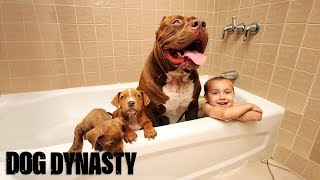 Download Video Giant Pit Bull Hulk's $500,000 Puppy Litter MP3 3GP MP4