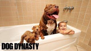 Giant Pit Bull Hulk's $500,000 Puppy Litter full download video download mp3 download music download