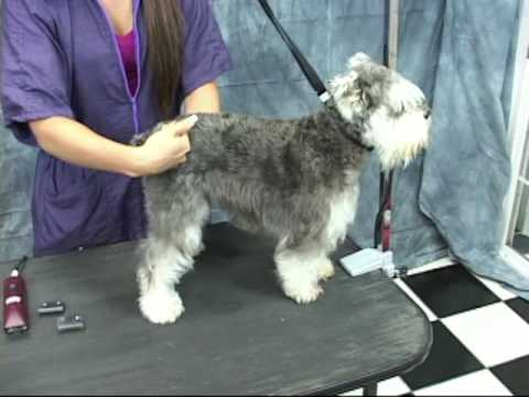 Schnauzer Grooming at www.OnlineGroomingSchool.com.  Take a Free Test Drive!