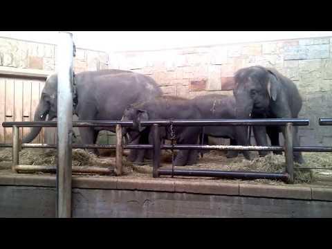 Asiatische Elefanten im Tierpark Berlin - 09.09.2019  ...
