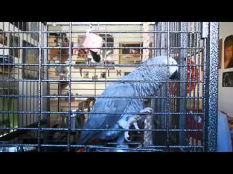 il pappagallo che saluta, canta e parla in dialetto!