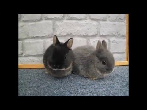 Netherland Dwarf Black and Blue Otter Kits Babies 7 Weeks Old cute and adorable