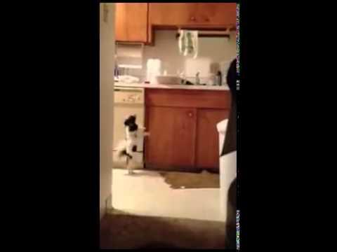 Perrito bailando salsa