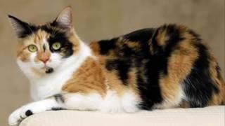 Download Video Misteri Kucing Jantan Belang Tiga atau Tiga Warna, yang Di percaya Memiliki Kekuatan luar biasa MP3 3GP MP4