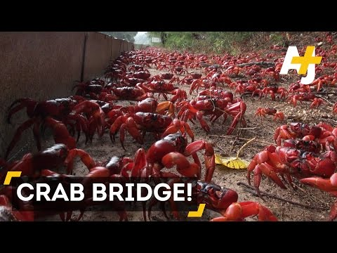 Millions Of Red Crabs Cover Christmas Island During