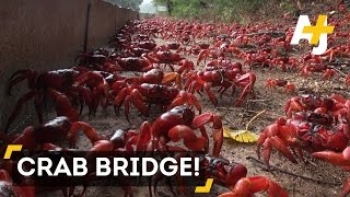Christmas Island Australia  city photos : Millions Of Red Crabs Cover Christmas Island During Migration
