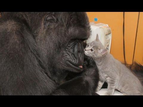 koko-la-gorilla-adotta-2-gattini