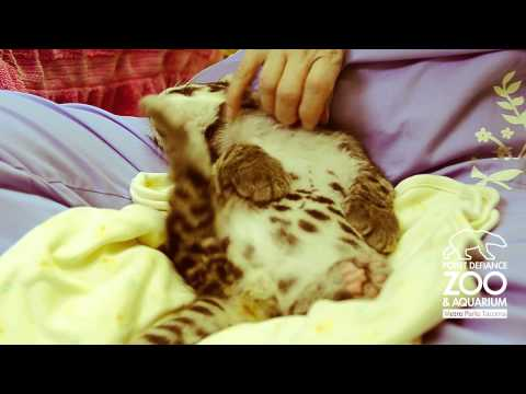 That's the Spot!: Endangered Clouded Leopard Cub at Point Defiance Zoo & Aquarium
