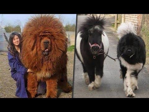 10 razze di cani giganti che sono uniche al mondo!