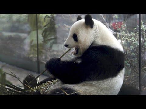 Berlin: Zoo erwartet erste Geburt eines Pandababys in ...