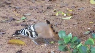 Sharona Israel  city photos : Tel Aviv, Sharona, Israel - A hoopoe, Israel's national bird