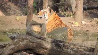 Pench India  city images : Collarwali Tigress at Pench National Park Tiger Reserve 1 of 2
