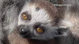 Newborn Baby Lemur Poses For The Camera