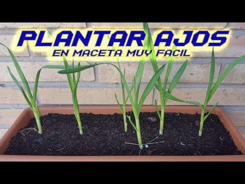Como Sembrar Ajos en Maceta    Plantar Ajos   Cultivar Ajos en Huerto Orgánico   Cultivo paso a paso