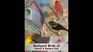 Video Identify Your Common Backyard Birds MP3, 3GP, MP4, WEBM, AVI, FLV Mei 2019