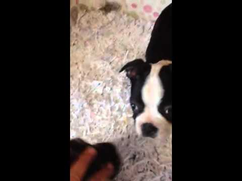 Baxter the Gorgeous Boston Terrier puppy for sale in FL