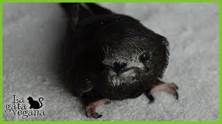 Hola bichejos, en este vídeo os explico qué podéis hacer si encontráis un vencejo en la calle, ya sea adulto o pollo. El vídeo es largo, pero dejo explicado no solo lo básico sino cosas bastante avanzadas. Espero que sirva para ayudar a muchos vencejos.Qué hacer cuando encuentras un ave: https://goo.gl/KNeLe1Más vídeos de aves: https://goo.gl/33gRZzSuscríbete: https://goo.gl/thLKcBMis redes sociales:Twiter------ https://twitter.com/lagataveganaFacebook----- https://www.facebook.com/lagataveganayt Instagram -------- https://www.instagram.com/lagataveganaytEmail -------- lagatavegana@gmail.com (no contesto dudas)Google +  ------- https://plus.google.com/+LaGataVegana Es posible que tus dudas ya las haya respondido antes en algún vídeo. Te recomiendo que compruebes si es así para que obtengas respuesta lo antes posible. Si quieres ayudarme en los gastos veterinarios de los animales que recojo de la calle : PayPal : lagatavegana@gmail.com Patreon: https://goo.gl/scpR7X¡Gracias!  ;)Música de la librería de YouTube:Electrodoodle de Kevin MacLeod está sujeta a una licencia de Creative Commons Attribution (https://creativecommons.org/licenses/by/4.0/)Fuente: http://incompetech.com/music/royalty-free/index.html?isrc=USUAN1200079Artista: http://incompetech.com/
