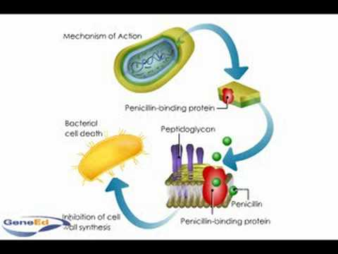 peniciline - Animation illustrating the mechanism of action of penicllin.