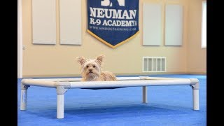 Finnegan (Yorkshire Terrier) graduated from the dog training boot camp at Neuman K-9 Academy. This program included obedience commands to sit, stay, heel or walk on a loose leash, come when called, proper etiquette, no jumping up, meeting and greeting people under control, and running on a treadmill.Our dog training camp provides programs for the Yorkshire Terrier such as boot camp, obedience training, and puppy camp.Neuman K-9 Academy is a professional canine training school that provides board and train (inboard) for dogs, and fully trained dogs for sale.For more information visit: www.mndogtraining.comLocated in Hugo Minnesota just north of Minneapolis and St. Paul (MN).