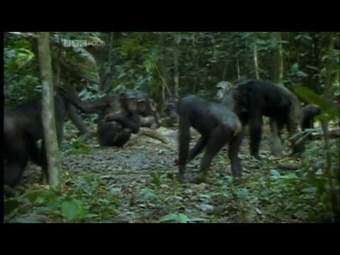 Ape - Fascinating documentary in which primates are observed to exhibit a plethora of social displays and emotions, ranging from non-reciprocated altruism (both in...