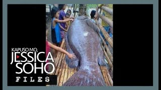 Antique Philippines  city photos : Mystery behind Antique's giant grouper fish explained | KMJS