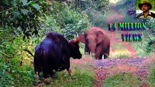 Video Elephant & Indian Bison in one Frame. MP3, 3GP, MP4, WEBM, AVI, FLV September 2017