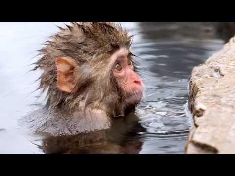 Snow Monkey Mountan (видео)