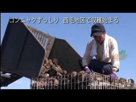Konjac plantation in japan