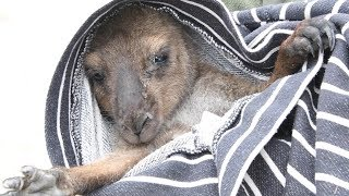 Australia fires: Rescuing animals in need by The Humane Society of the United States