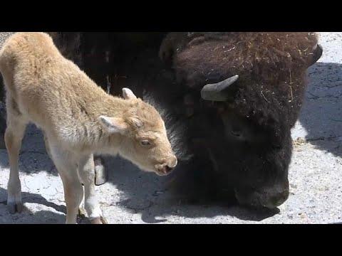 Belgrad/Serbien: Nachwuchs im Belgrader Zoo - ein Reh ...