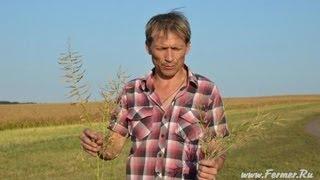 Фермер Александр Пеньшин Сравнение горчицы белой и сизой