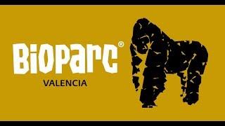 Download Video Gorilas - Comportamiento sexual y rituales de apareamiento (Bioparc Valencia) MP3 3GP MP4
