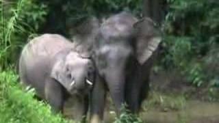 Borneo - The rare pigmy elephants