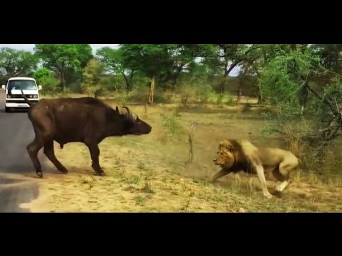 Lions Attack Buffalo , Bloody Fight Between Two Dangerous Animal