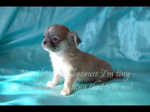 Cha-cha-cha Chihuahua song & lyrics