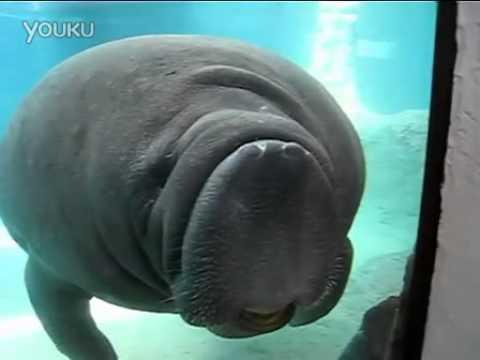 超可愛的海牛為了想親近小朋友不惜衝撞…
