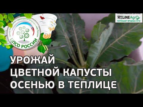 Сбор урожая цветной капусты. Выращивание цветной капусты в неотапливаемой теплице осенью.