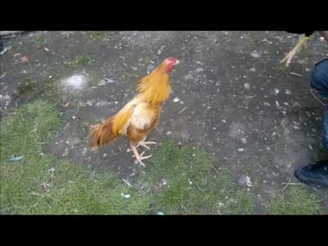 Asil (chicken) -