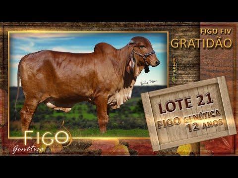 LOTE 21 - FIGO GRATIDÃO