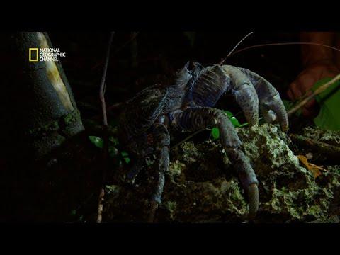 Le crabe de cocotier , le plus grand arthropode terrestre !