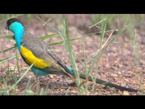 Hooded Parrot (Psephotus dissimilisa) in Pine Creek, NT
