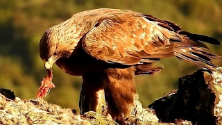 Águia-real - Almoço * Golden Eagle - Lunchtime